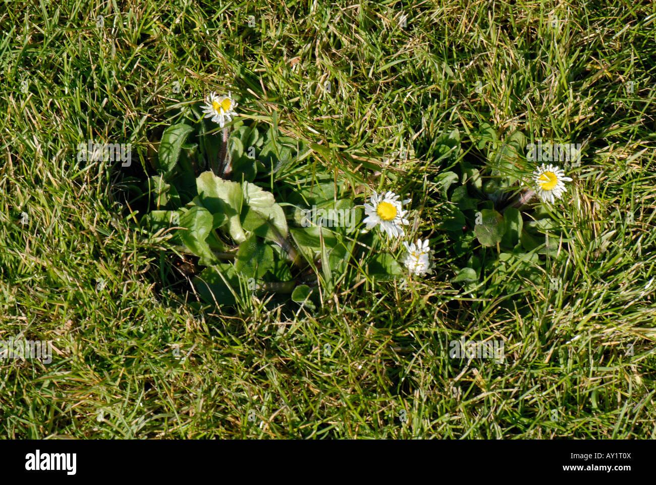 Bellis perennis daisy fleurs dans un jardin pelouse Photo Stock