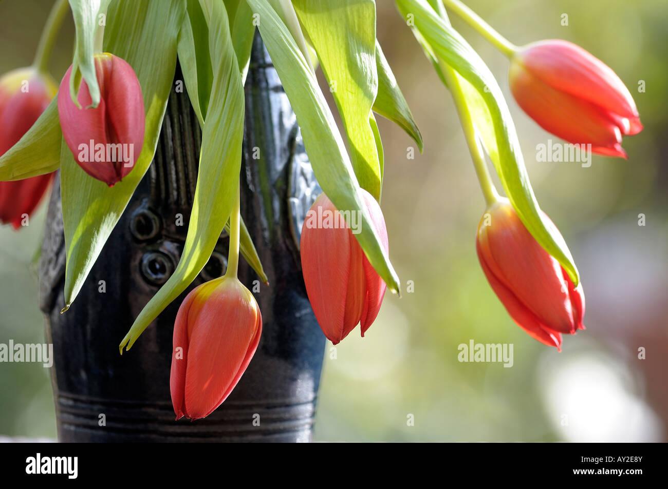 tulipe tombante