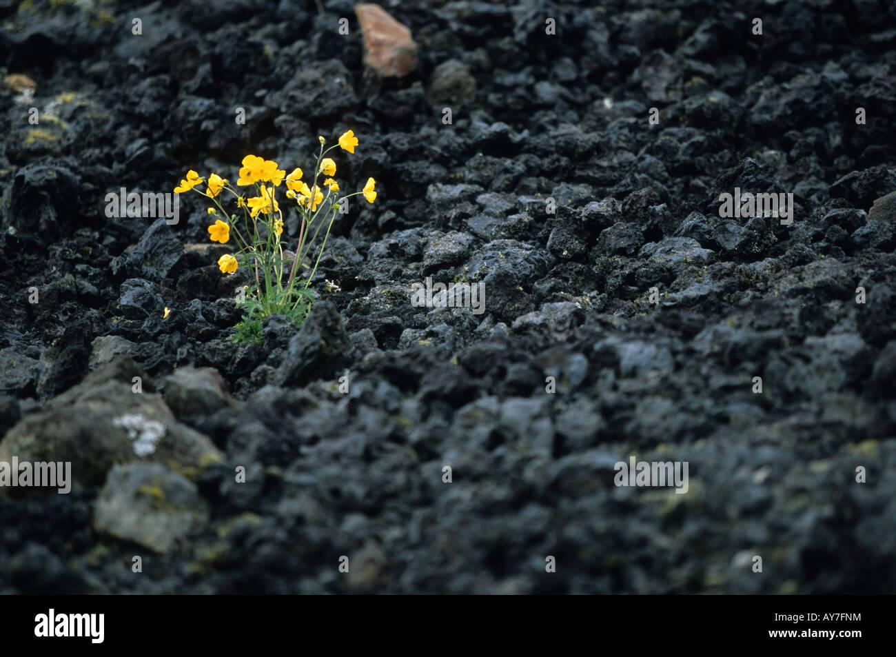 De lave et de fleur dans la zone de Krafla Myvatn Islande Photo Stock