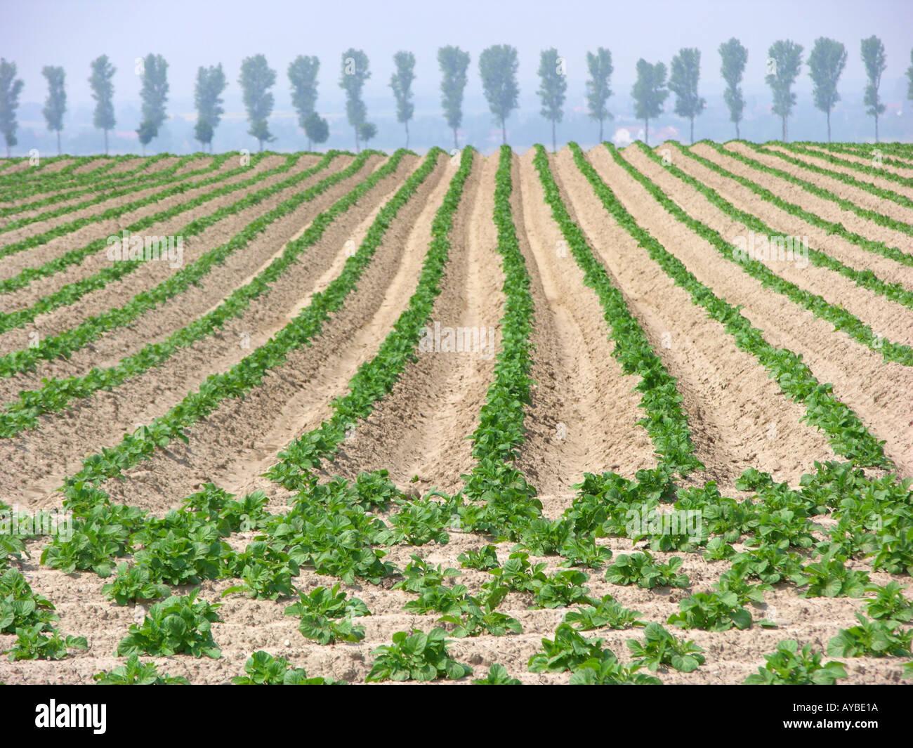 Plants de pommes de terre Les pommes de terre dans les champs Photo Stock