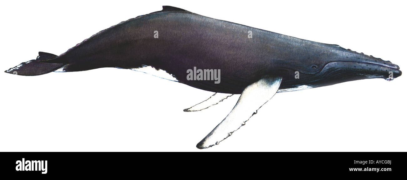 Baleine A Bosse Megaptera Novaeangliae Dessin Banque D Images