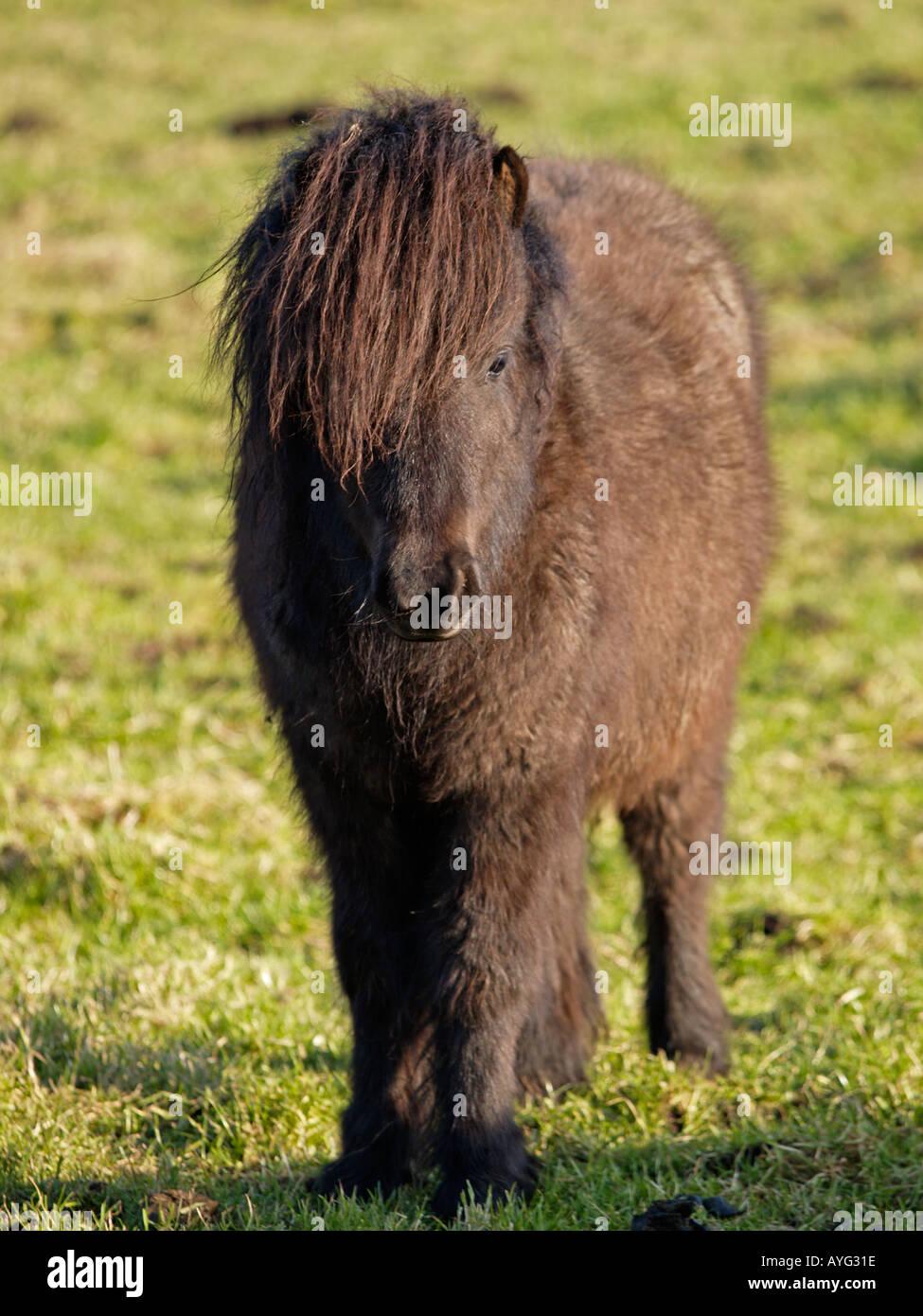 portrait d 39 un poney shetland couleur brun fonc avec de longs poils laineux la cam ra en vue. Black Bedroom Furniture Sets. Home Design Ideas