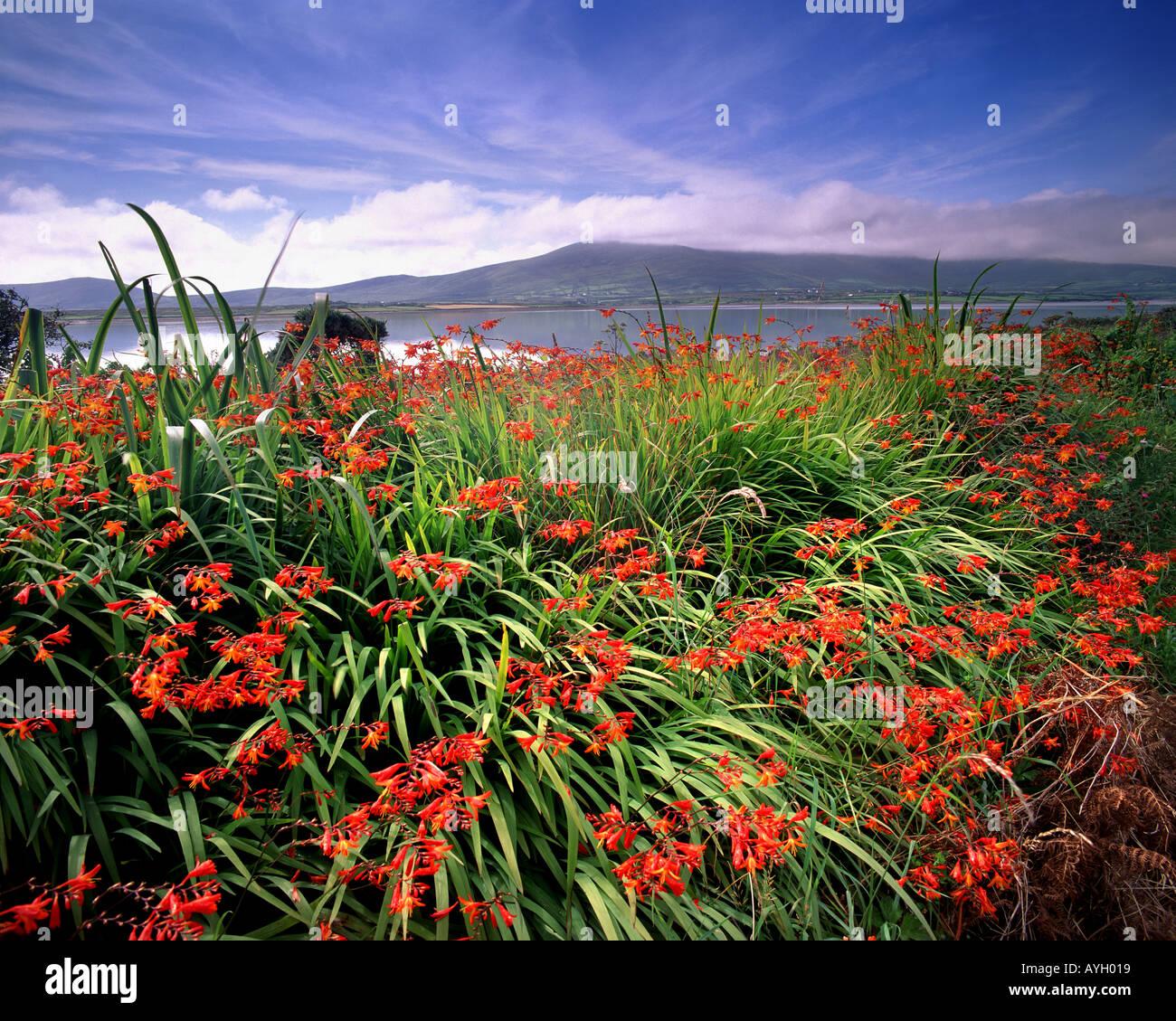 IE - comté de Kerry: Montbretia floraison sur l'île de Valencia Photo Stock