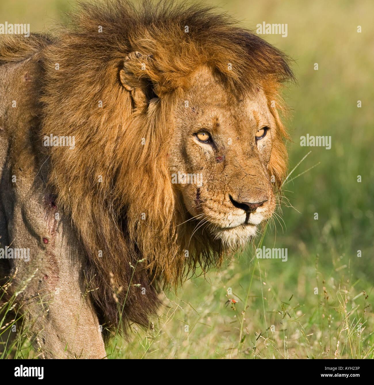 Close up of lioness, Kruger National Park, Afrique du Sud Photo Stock