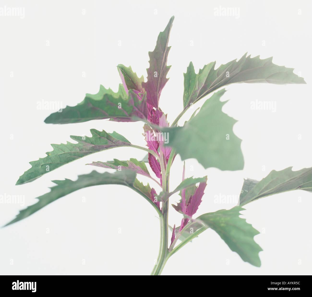 Arbre géant, épinards chénopode glabre (Chenopodium giganteum), bords dentelés et les jeunes feuilles couleur magenta Banque D'Images