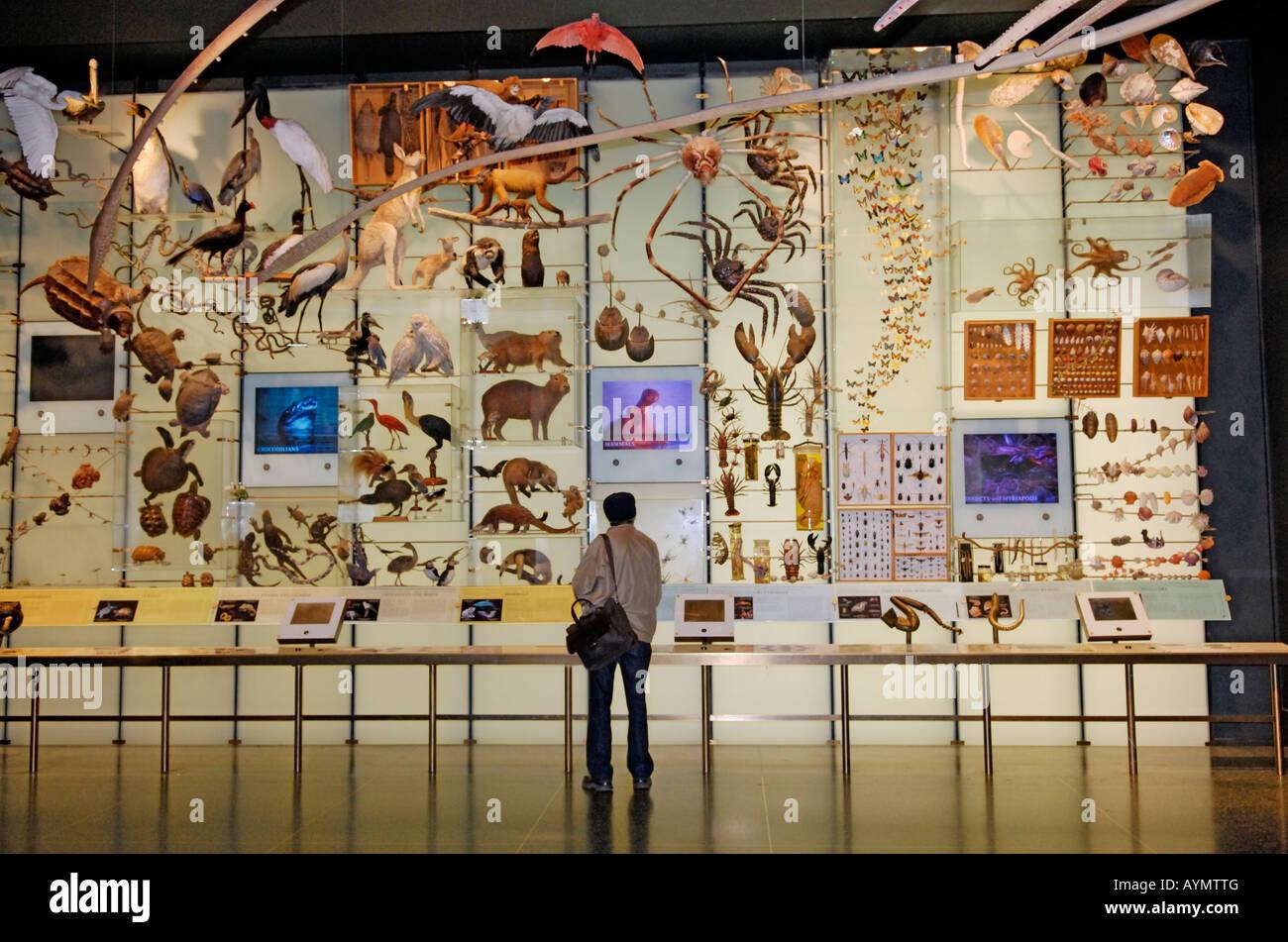 Un homme regarde un affichage dans le Hall de la biodiversité Musée Américain d'Histoire Naturelle Photo Stock