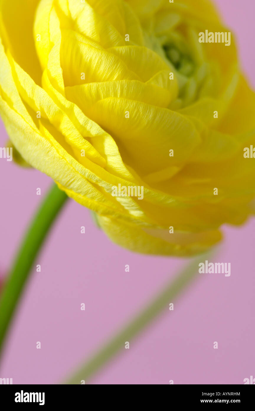 Renoncule jaune Photo Stock