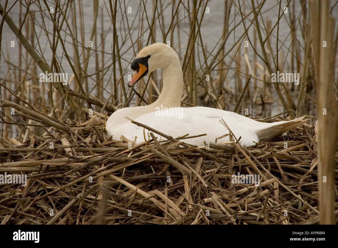 Mute Swan (Cygnus olor) sur son nid Banque D'Images