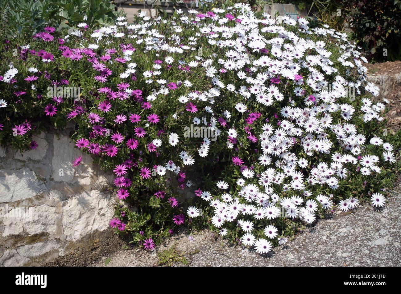 gazania poussant le long d'un mur dans un jardin banque d'images