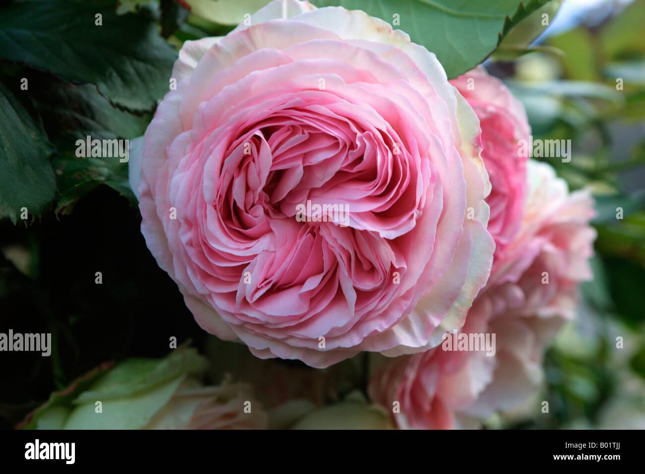 Rose aimable ami Marguerite Jardin seule France Alsace Bloom Blooming Bloomings espèce botanique Fleurs Fleurs Photo Stock