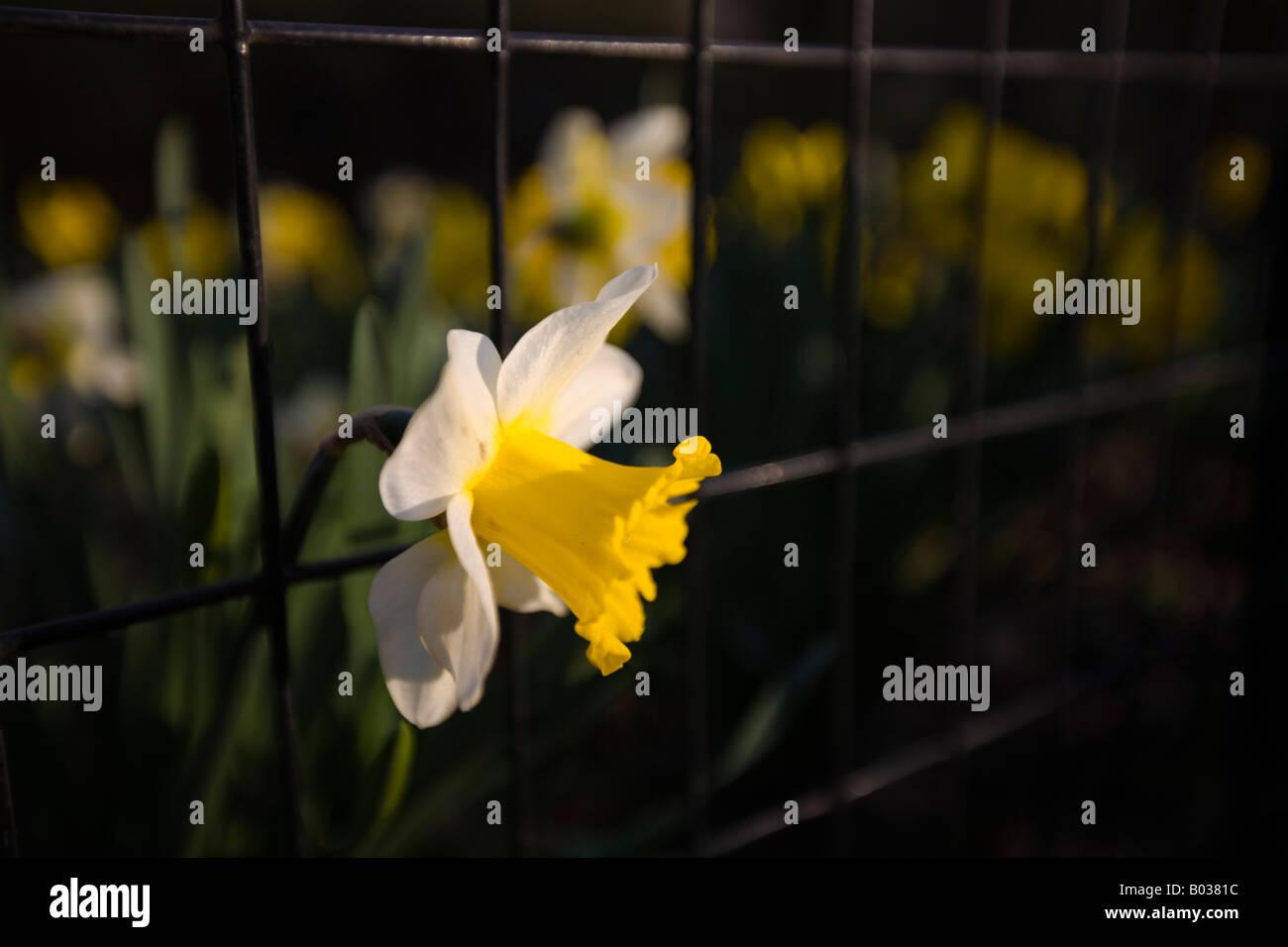 Jonquille fleur sortir de derrière la clôture Photo Stock