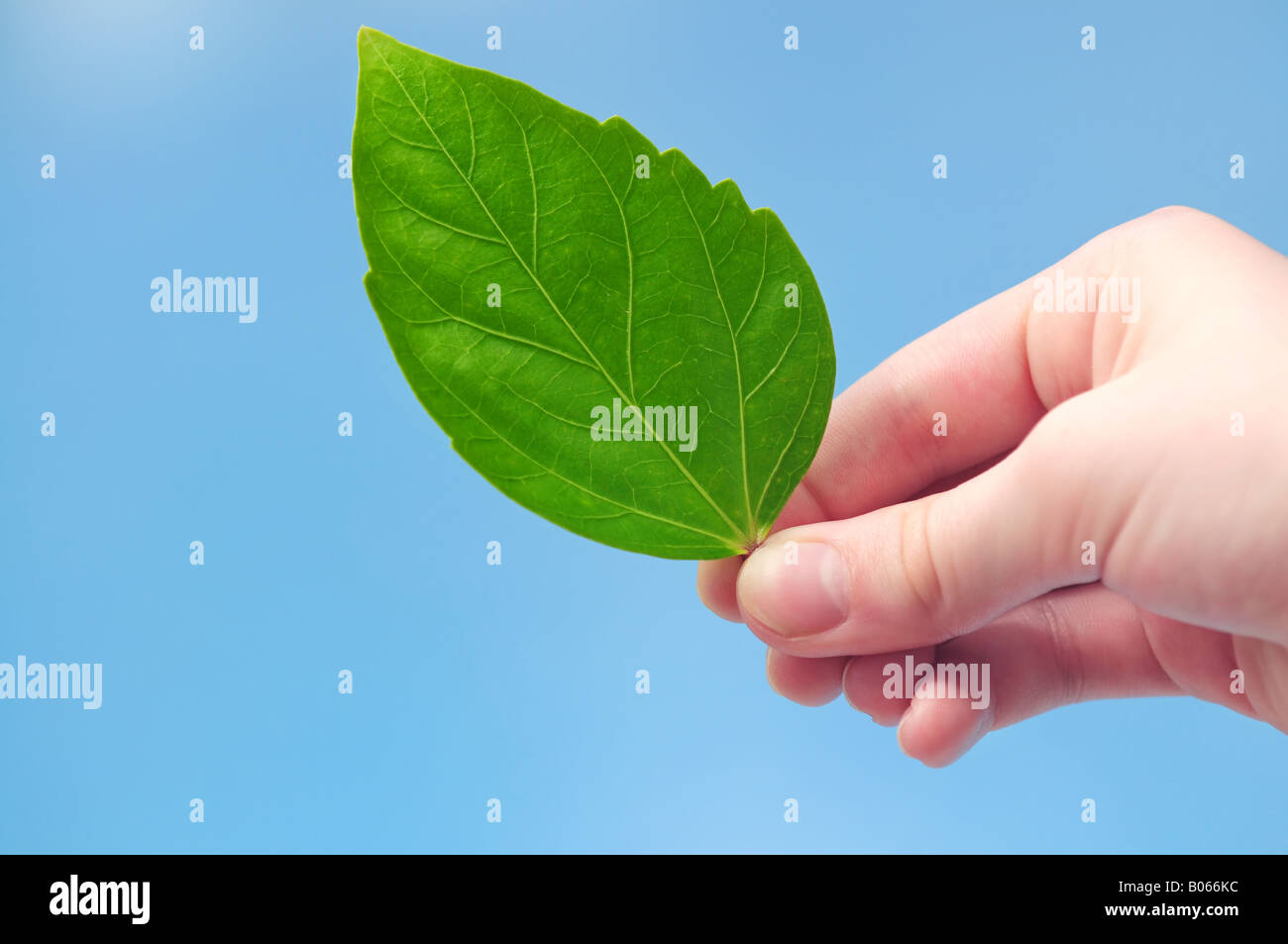 Hand holding fresh feuille verte sur fond bleu Photo Stock