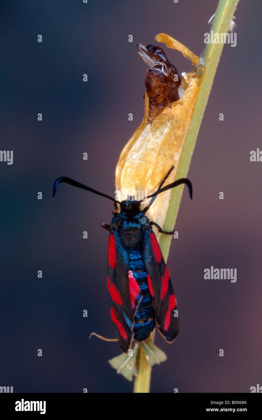 Six-spot Burnet Moth (Zygaena filipendulae), Tyrol, Autriche, Allemagne Banque D'Images