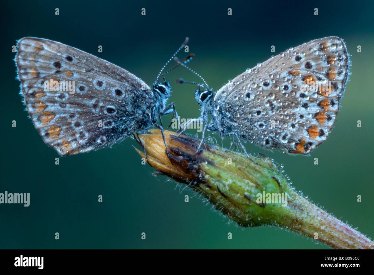 Deux papillons bleu commun (Polyommatus icarus) face à l'un de l'autre, Nord Tirol, Autriche Photo Stock
