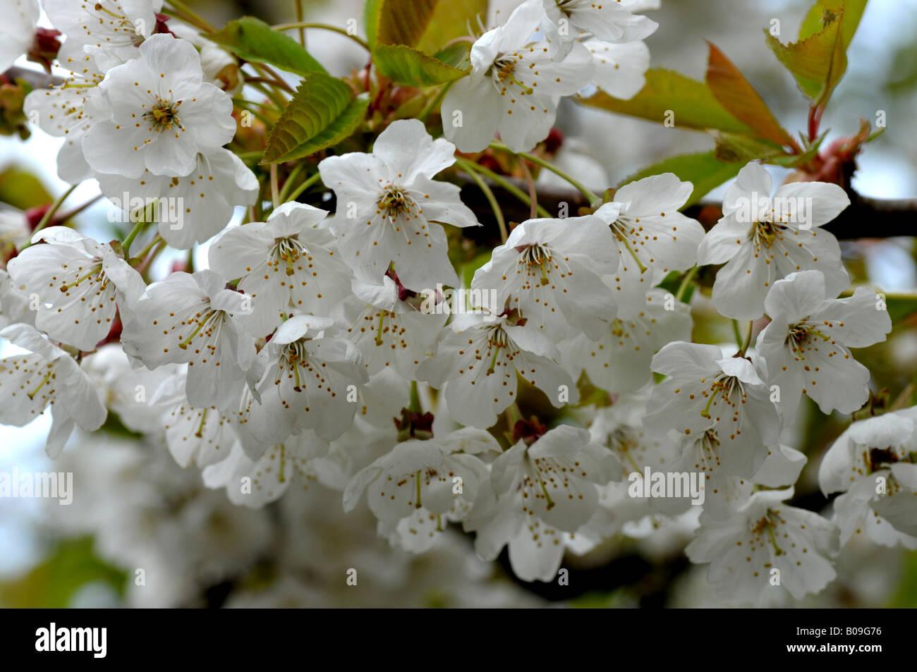 Fleur de cerisier Banque D'Images