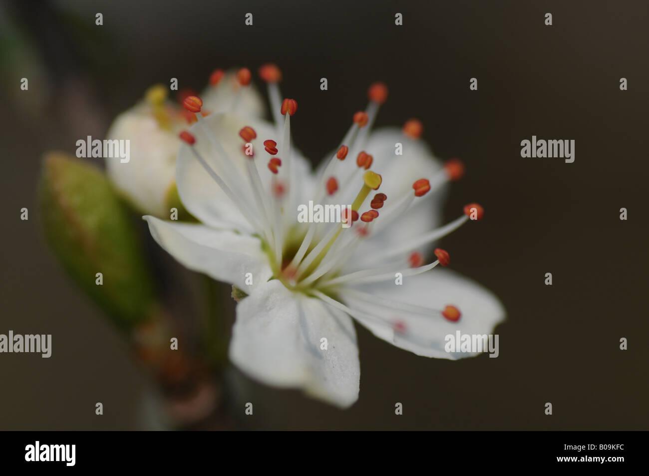 Prunellier fleur dans une haie Banque D'Images