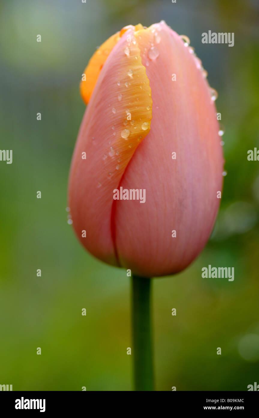 Tulip avec gouttes de pluie Banque D'Images