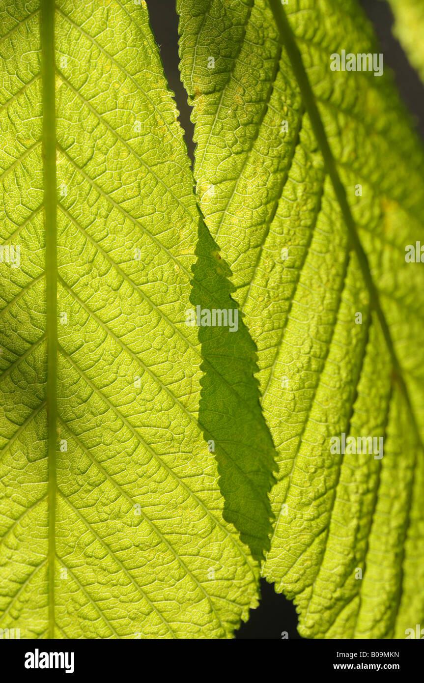 Soleil à travers les jeunes feuilles de marronnier Banque D'Images