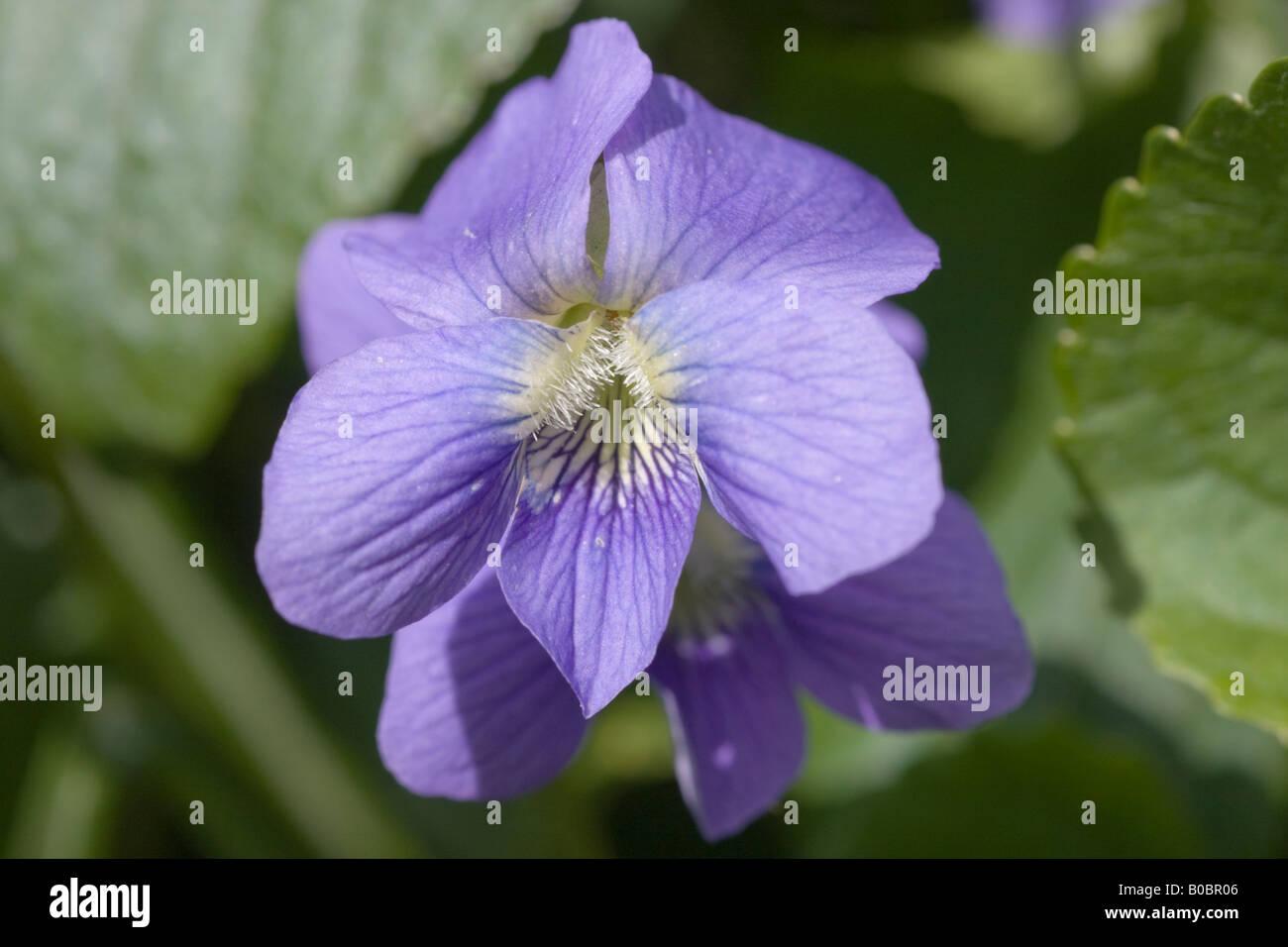 Un Gros Plan De La Fleur Bleue D Un Bleu Commun Violette Viola