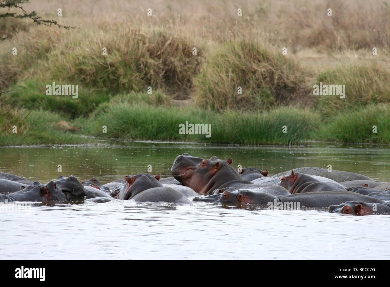 Les hippopotames se baignant dans un étang dans le Parc National du Serengeti, Tanzanie Banque D'Images