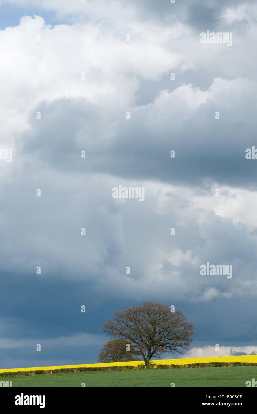 Arbre de chêne sous ciel orageux - champ de colza en arrière-plan Banque D'Images
