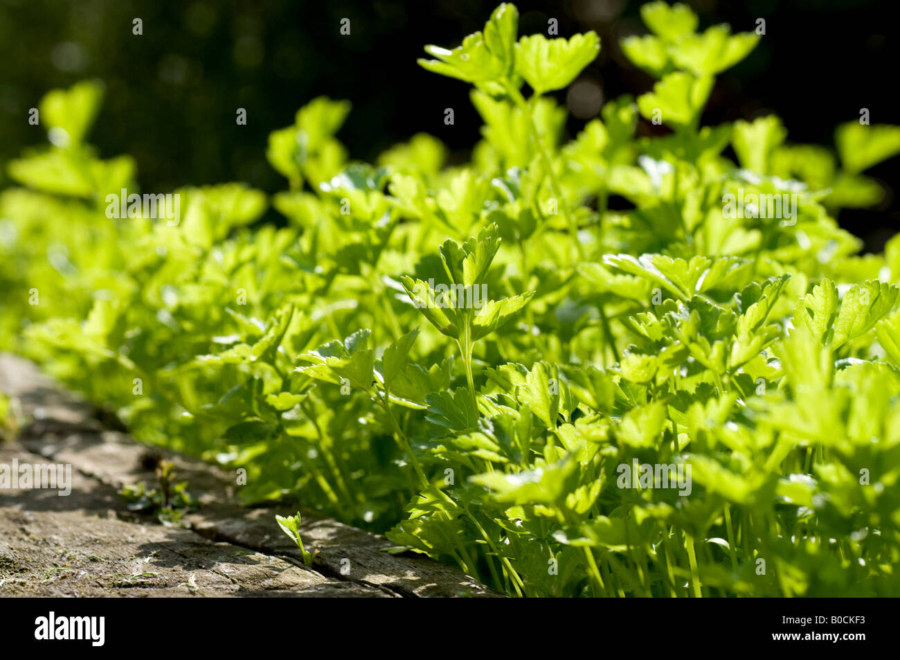 De plus en plus de persil herb bed Banque D'Images