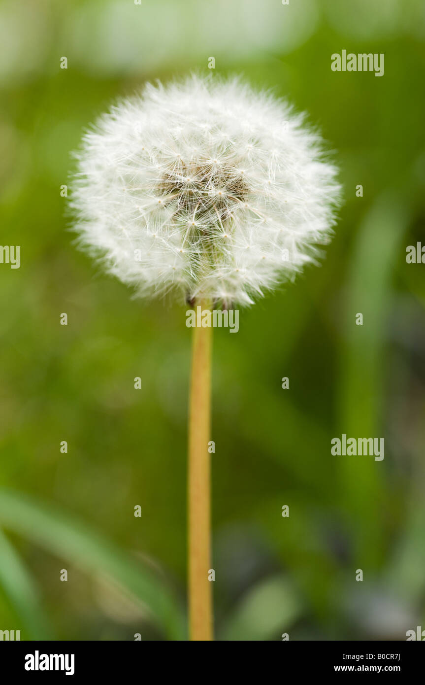 Réveil - tête de graines de pissenlit Banque D'Images