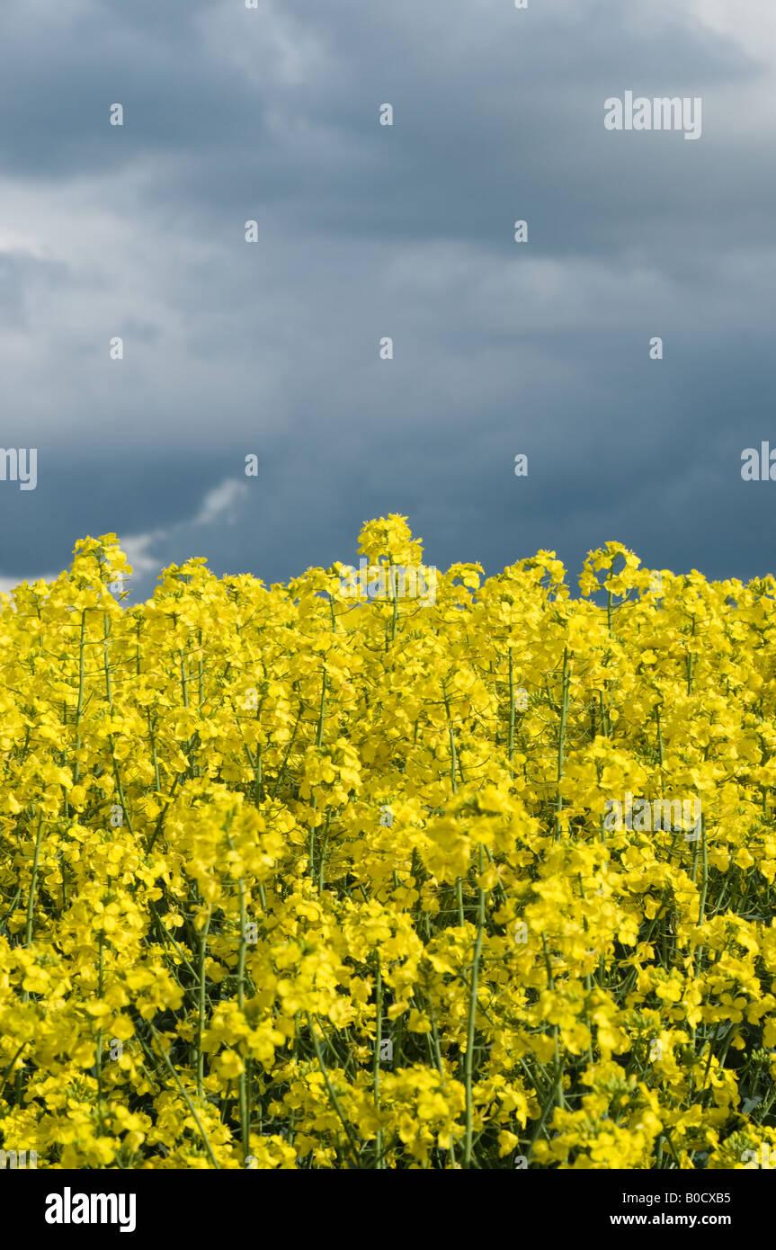 Huile de colza champ sous ciel orageux Banque D'Images