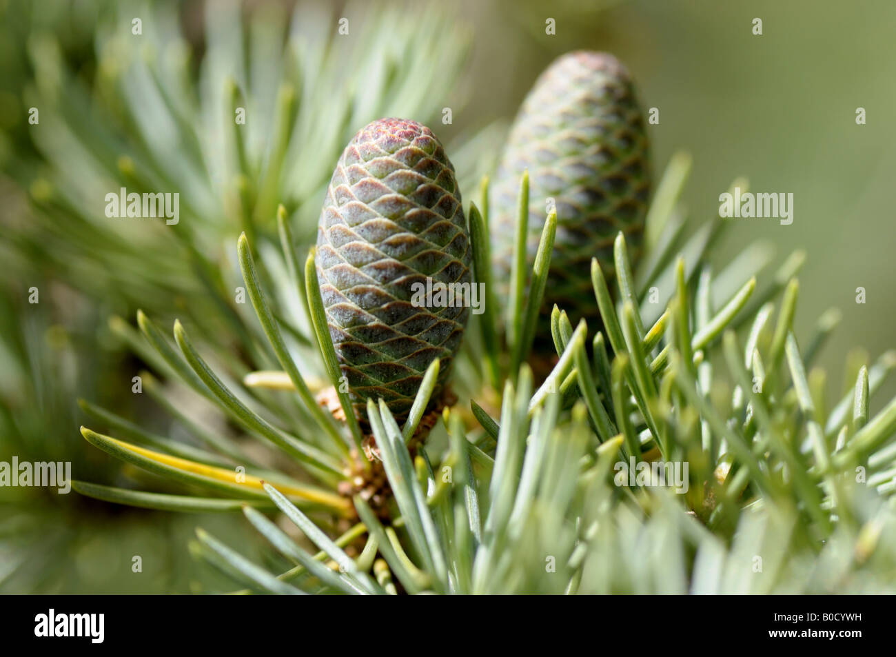 Les jeunes cônes de pin sur une branche du cèdre de l'Atlas Banque D'Images