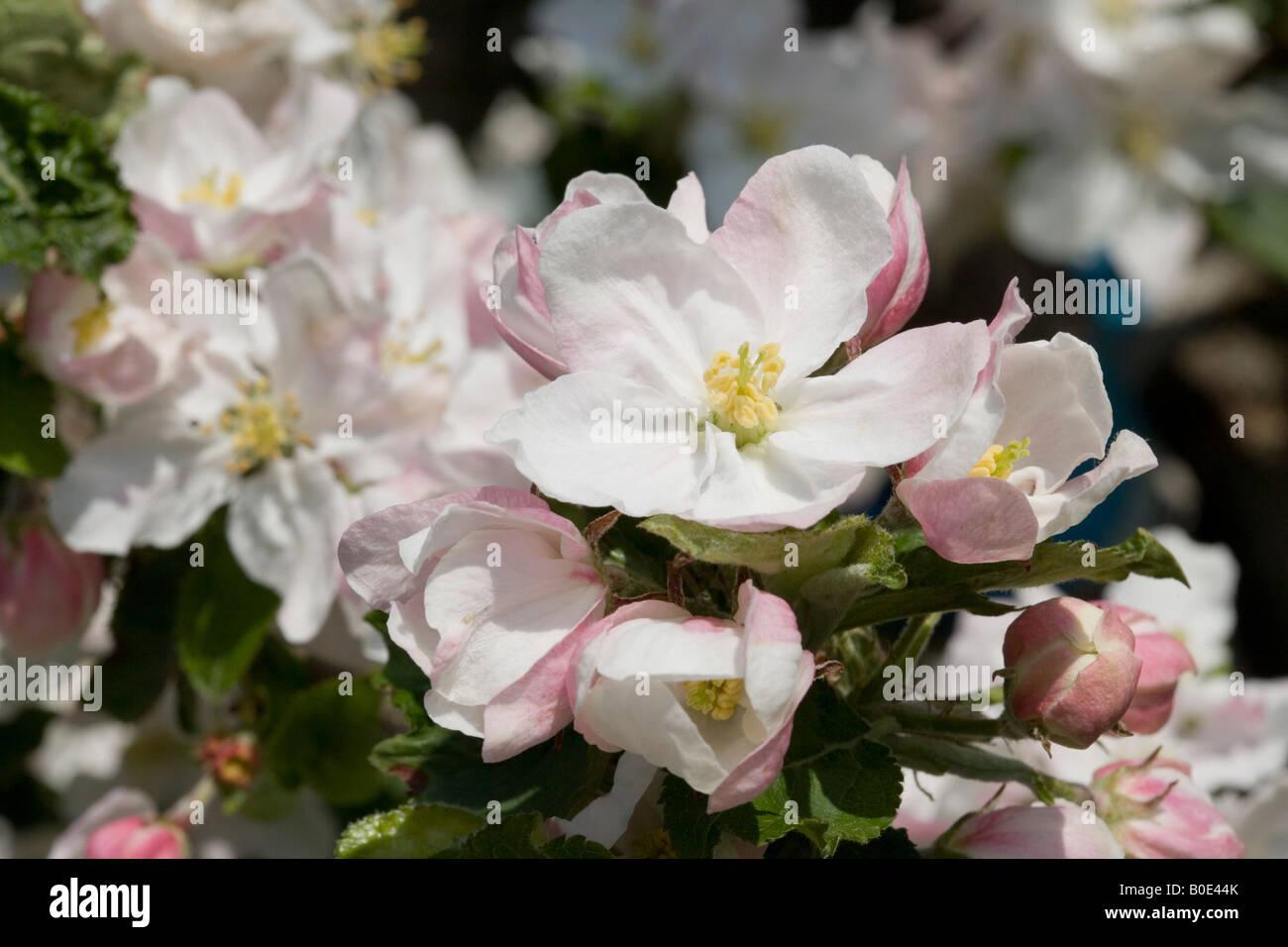 Fleurs de pommier dans un verger Banque D'Images