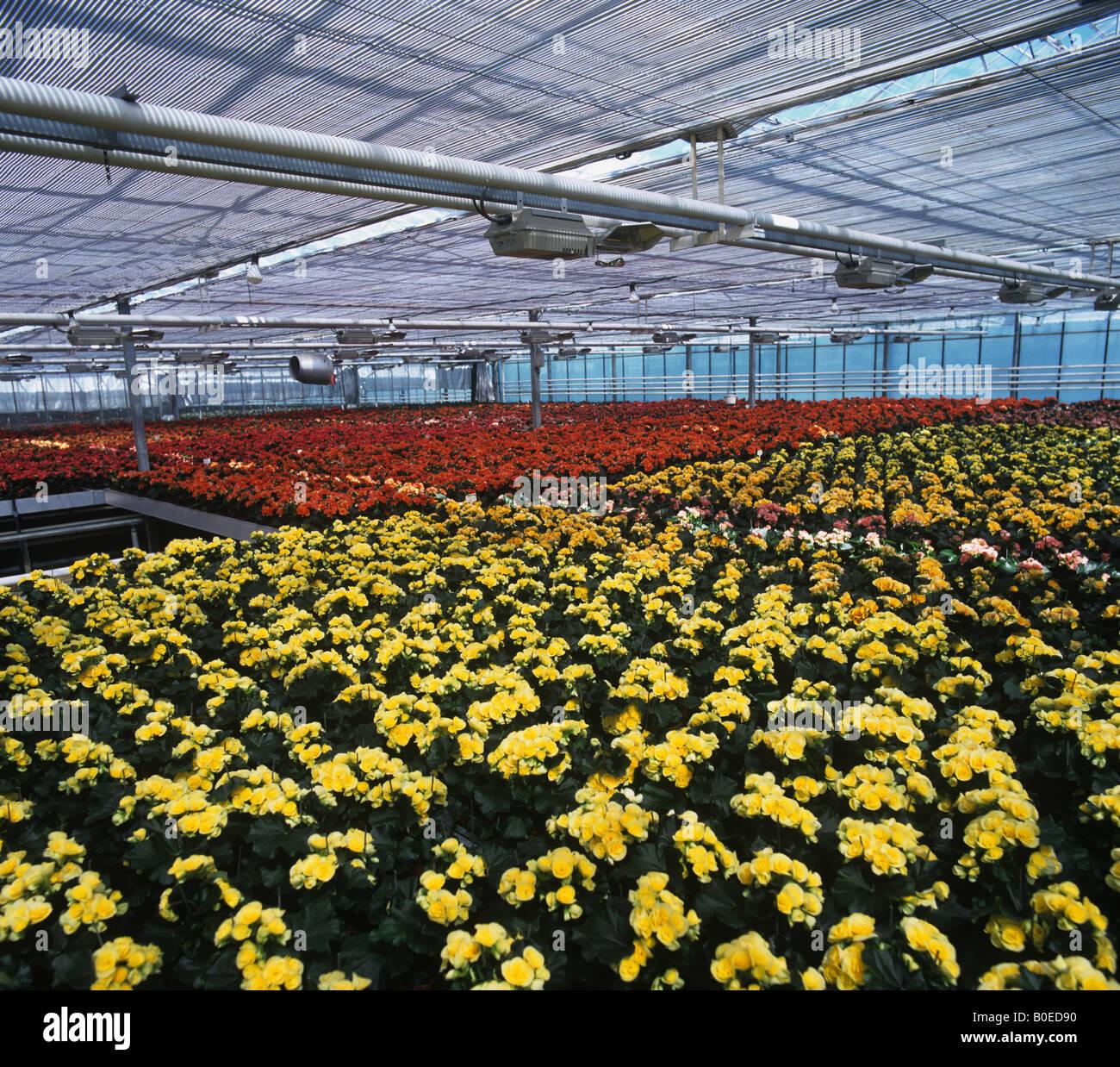 Busy Lizzie élevage plantes pour la vente dans les magasins dans une grande serre pépinière Banque D'Images