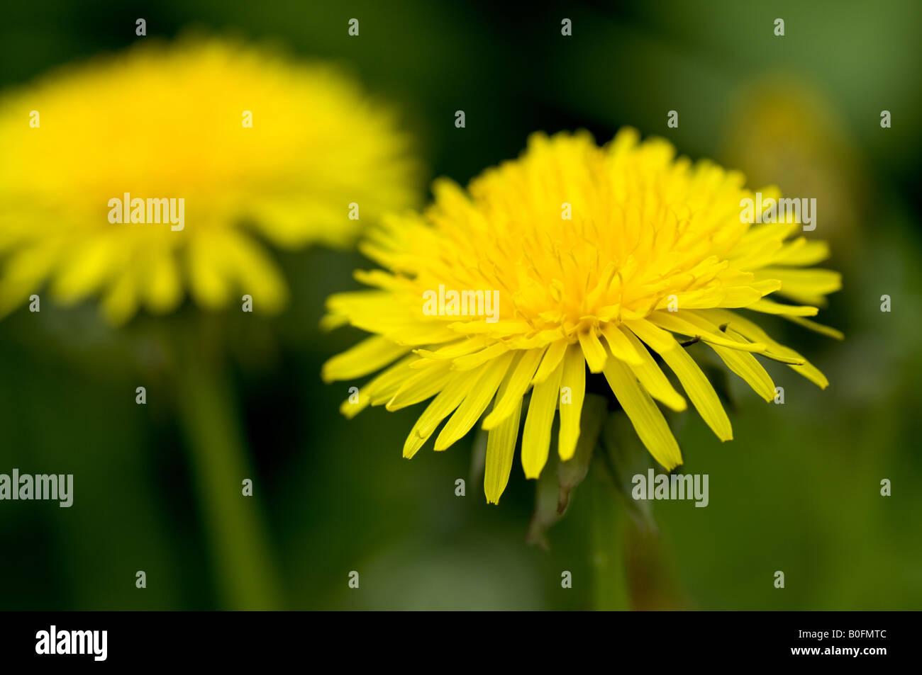 Pissenlit dans un champ, macro shot Banque D'Images