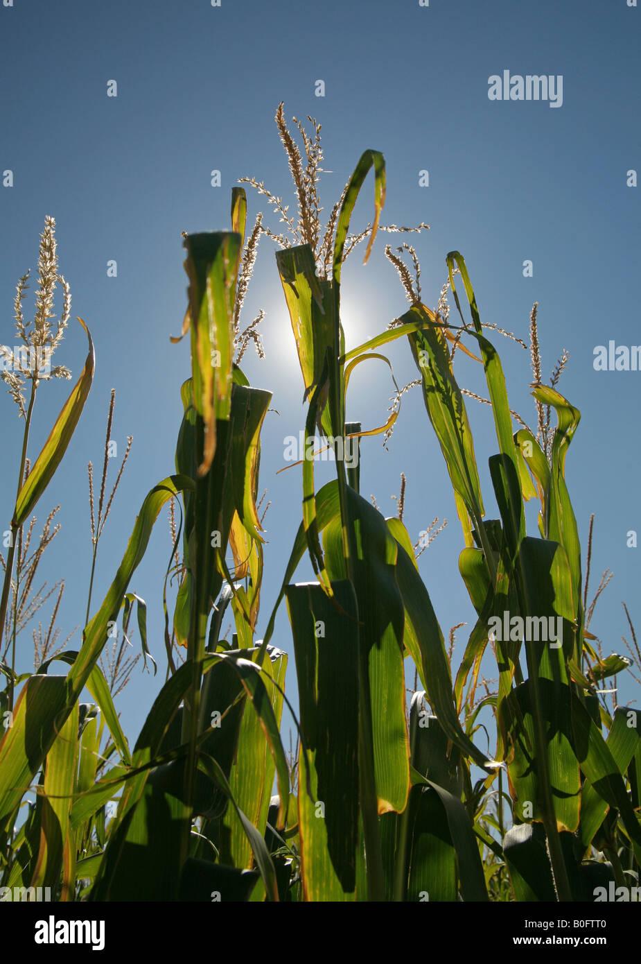 Les tiges de maïs tourné de dessous avec soleil derrière Photo Stock