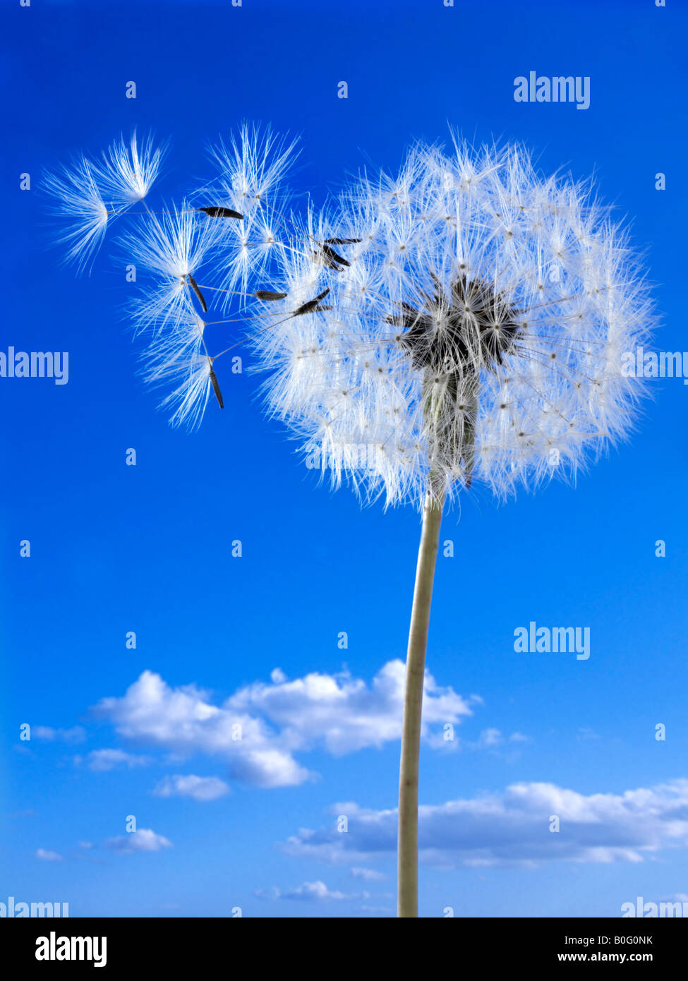 Dandelion Clock against a blue sky Photo Stock