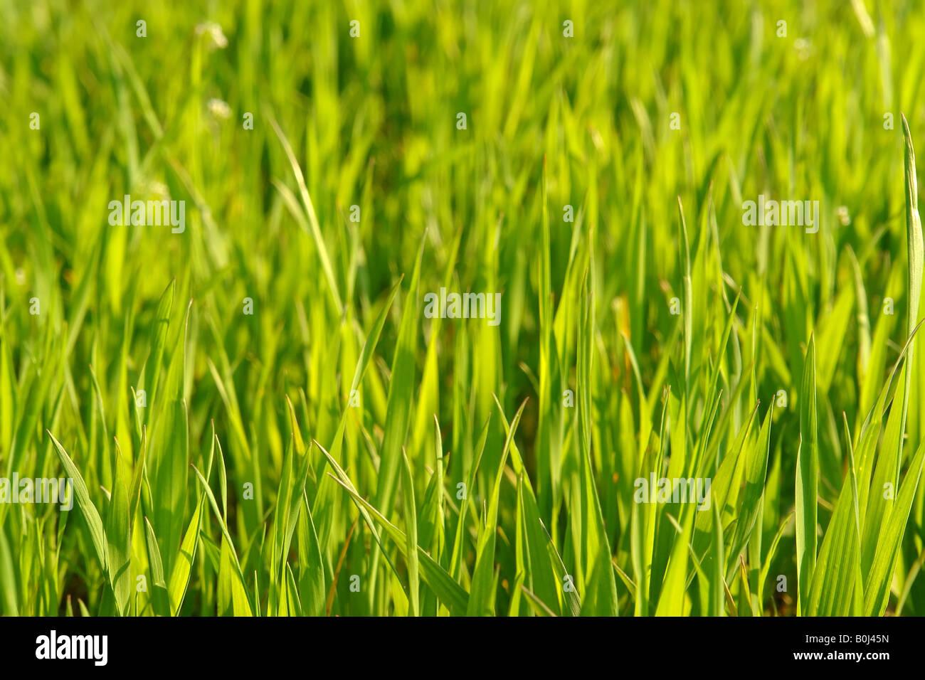 Libre du mûrissement Blé Maïs Photo Stock
