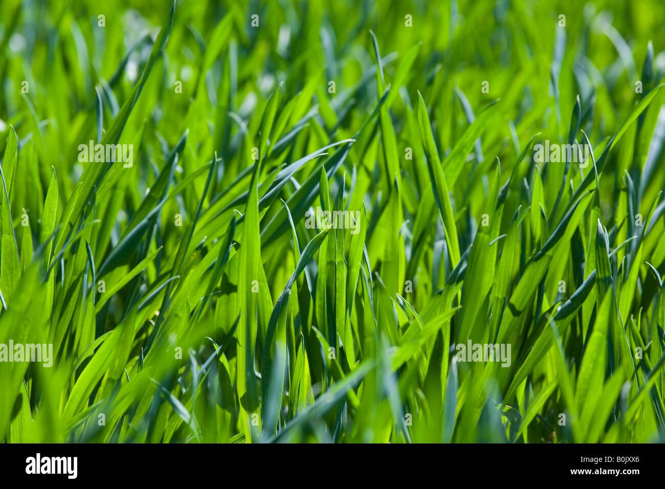 Nouvelles lames d'herbe verte fraîche Photo Stock