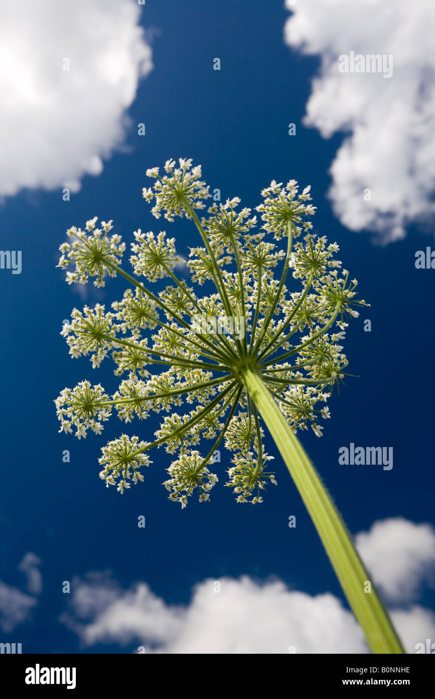 L'essor l'Angélique (Angelica archangelica ombelle). Ombelle d'angélique officinale en fleurs, Photo Stock