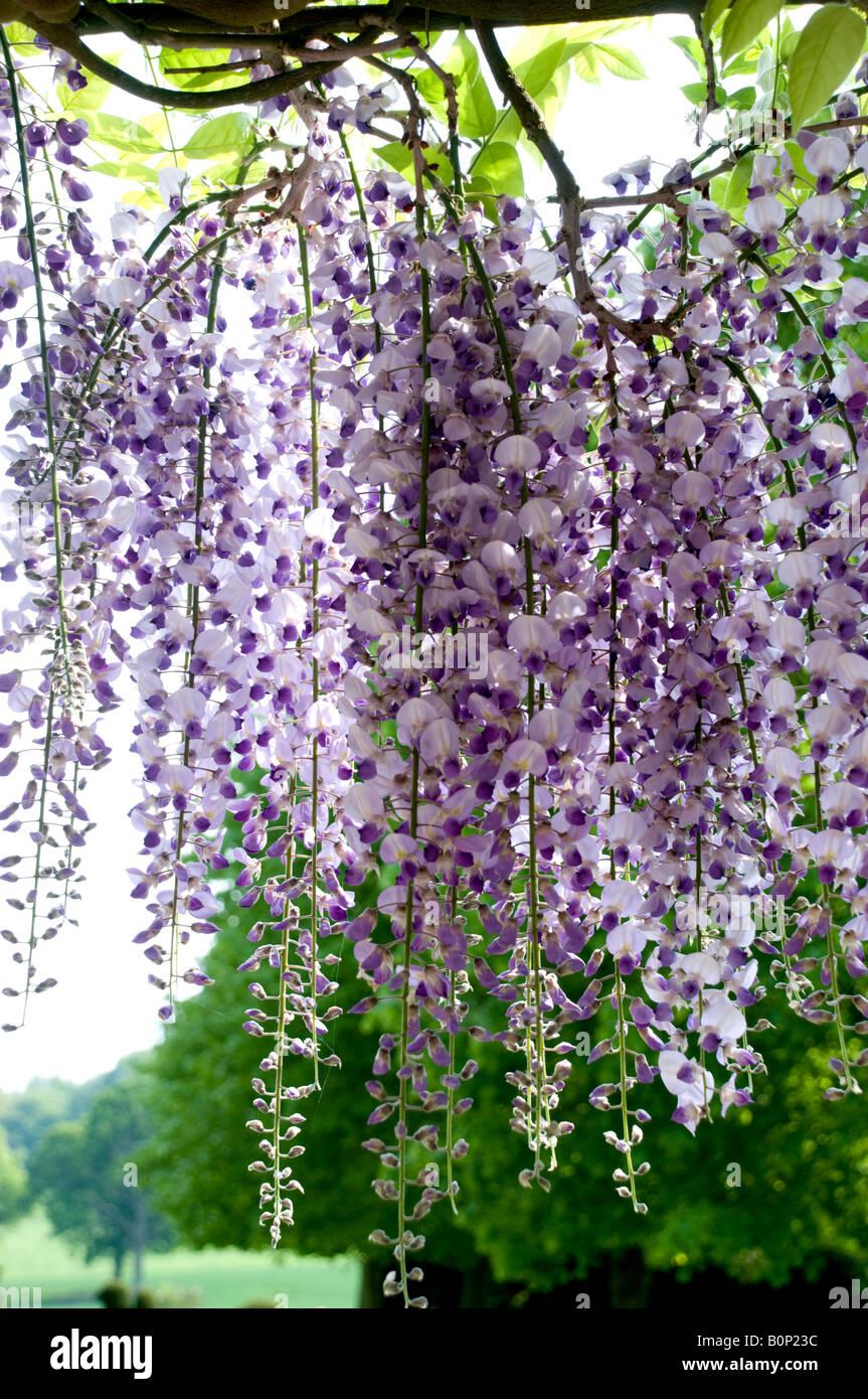Wisteria floribunda - glycine Japonaise, Herefordshire Banque D'Images