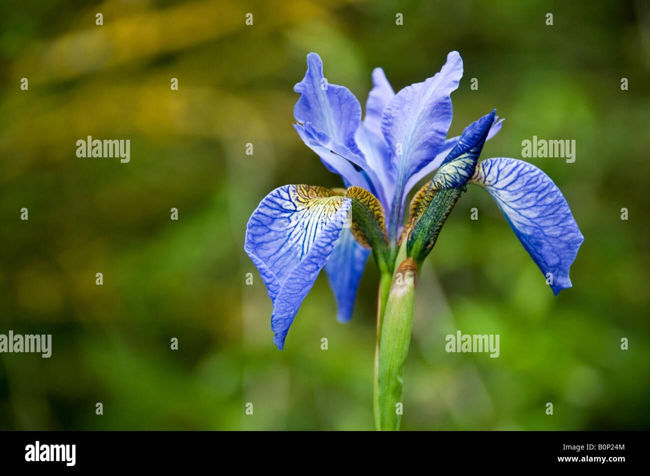 Iris versicolore Banque D'Images
