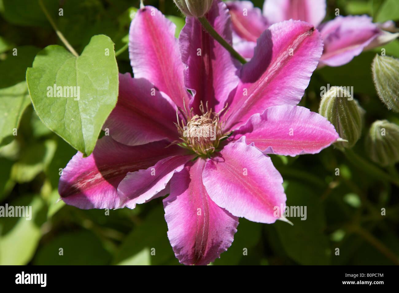 Clematite Nelly Moser Groupe 2 Fleur Mauve Rose Climber Atragene