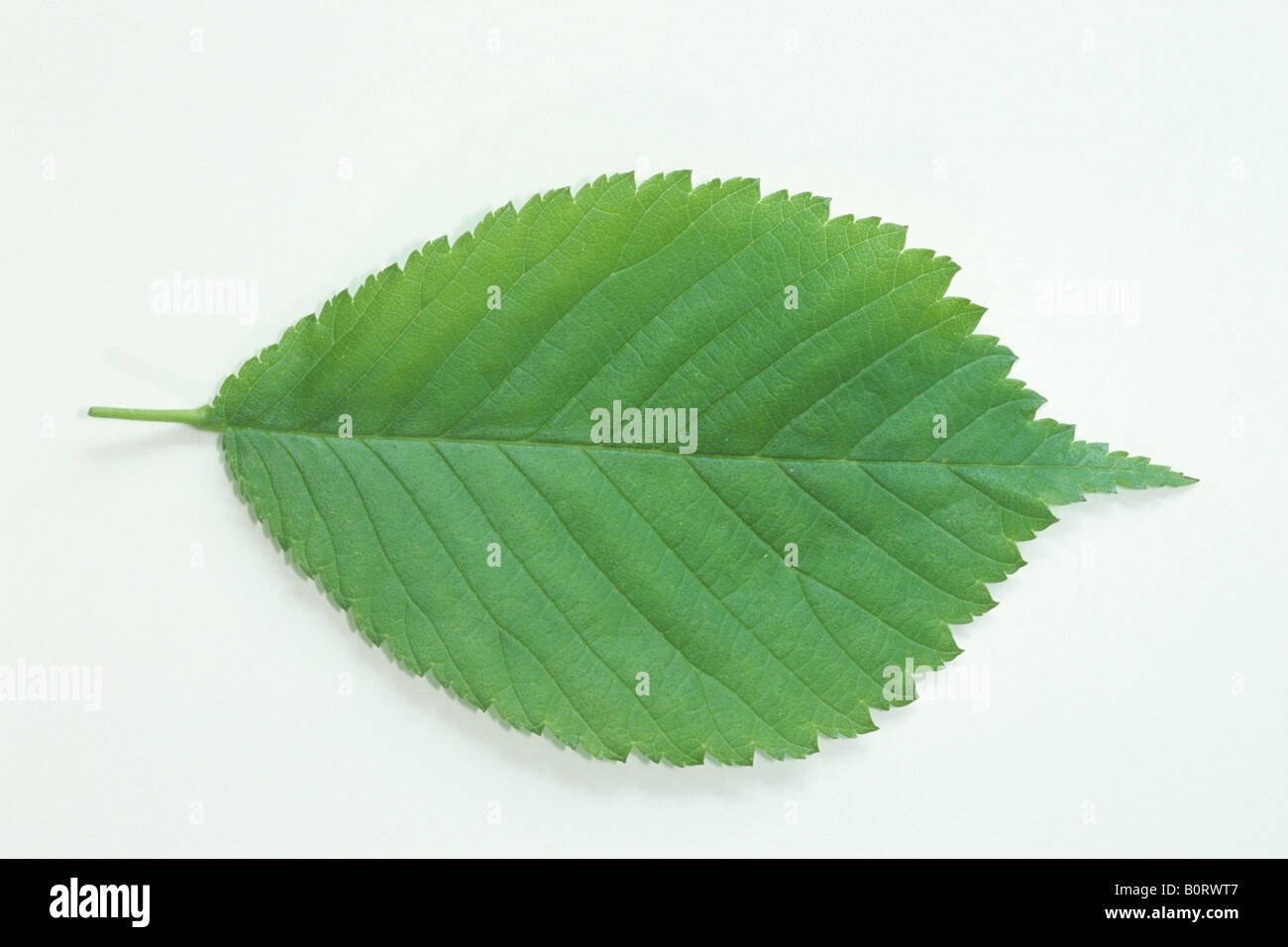 Orme montagnard (Ulmus glabra), feuille, studio photo Photo Stock