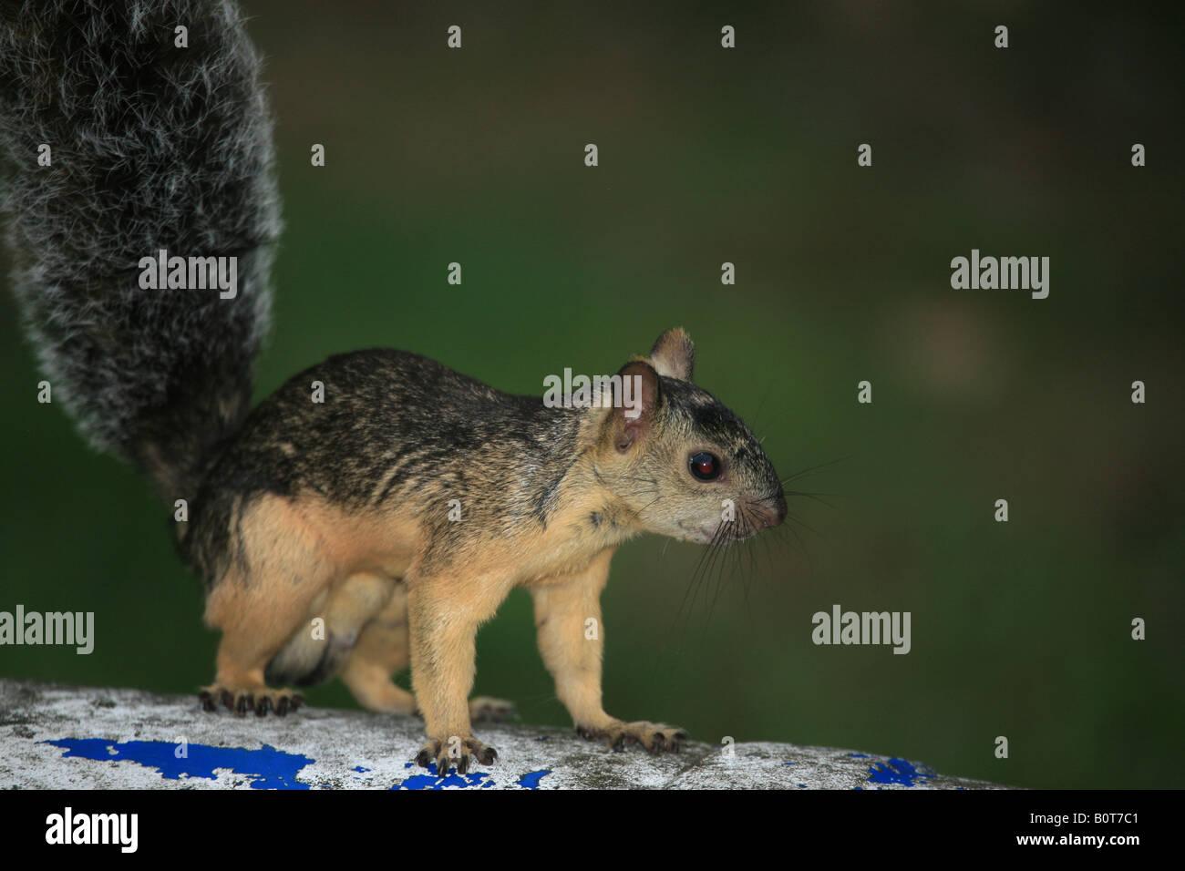Sqirrel au sol sur un baril proche de l'administration Centre of Metropolitan Park, près de la ville de Photo Stock