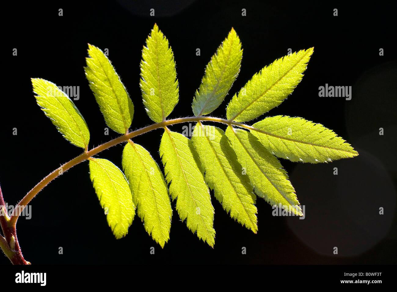 Rowan européenne, feuilles, sorbier (Sorbus aucuparia), ressort de feuillage, pousses, rétro-éclairage, Photo Stock