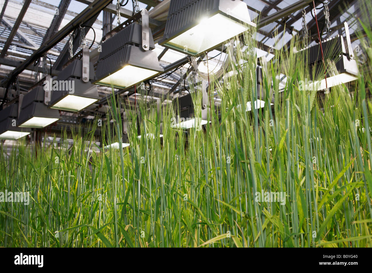 L'orge (Hordeum vulgare), panicules, Close up Photo Stock
