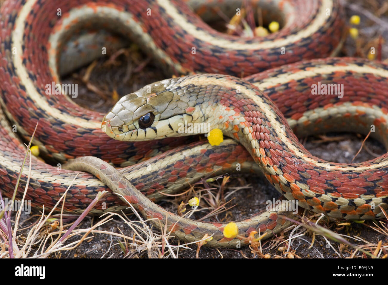 Couleuvre rayée Thamnophis elegans côte terrestris California United States Photo Stock