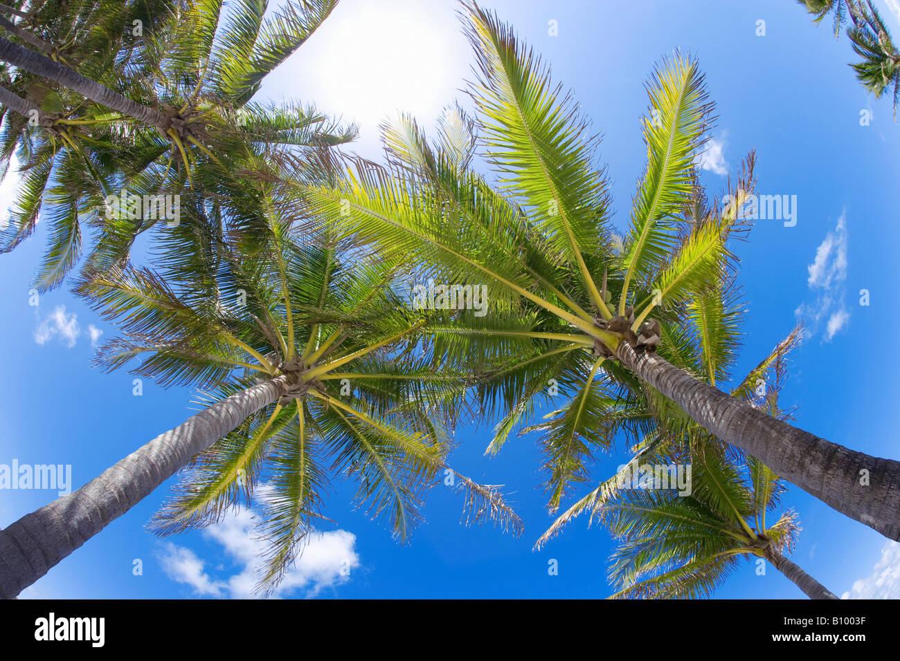 Cocotiers, vue vers le haut à Miami Beach, Floride Photo Stock