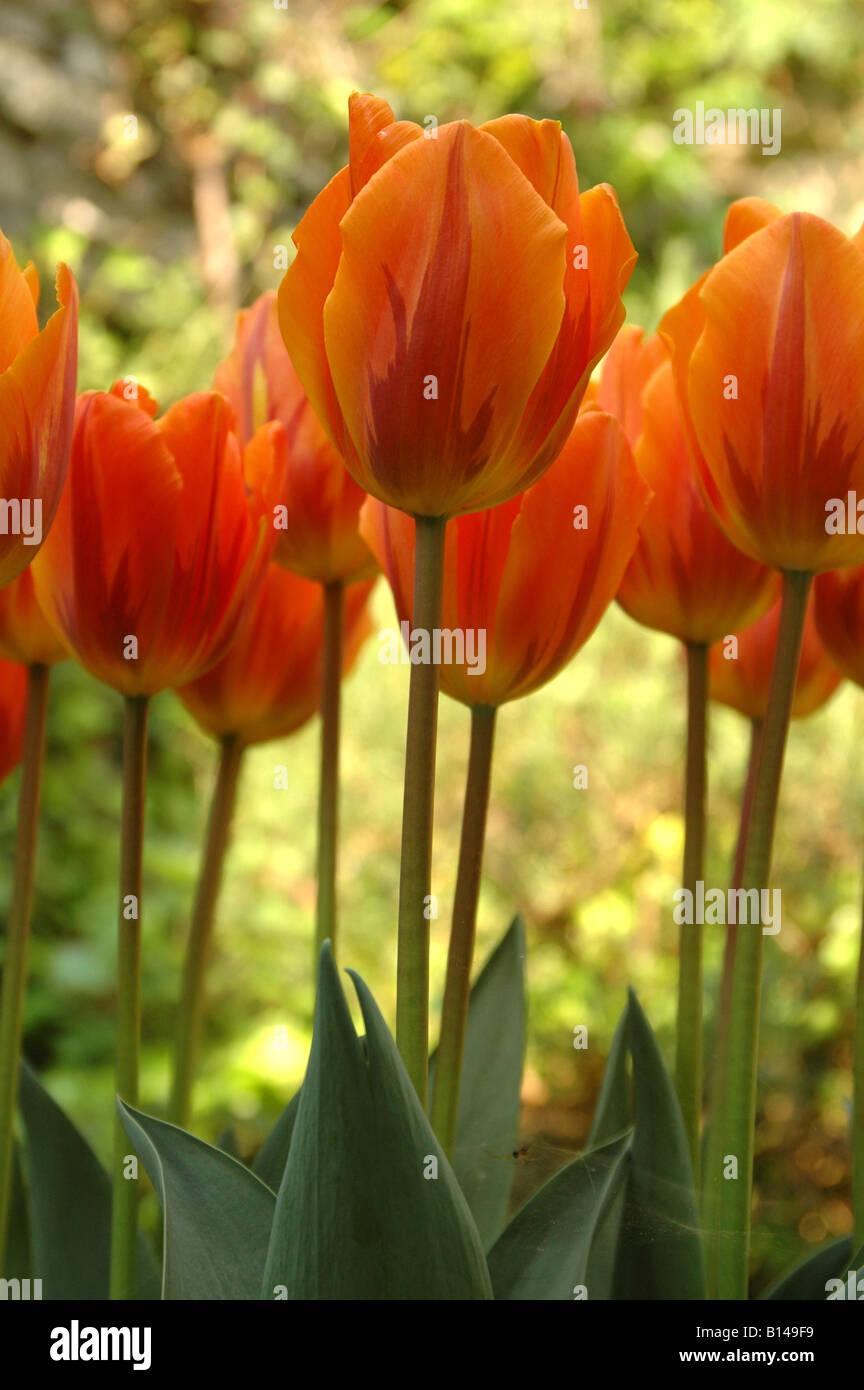 Tulipes en ombre pommelé Banque D'Images