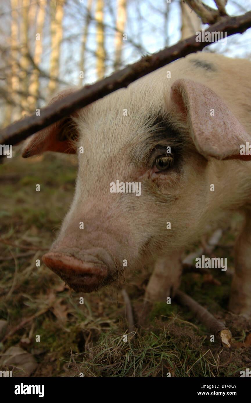 Gloucester vieux Spot pig Banque D'Images