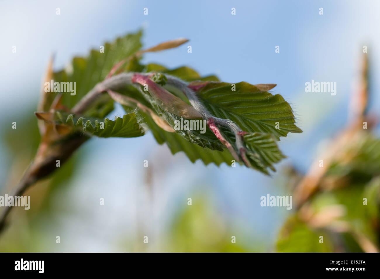 Feuilles de hêtre (Fagus sylvatica) déployant au printemps Banque D'Images