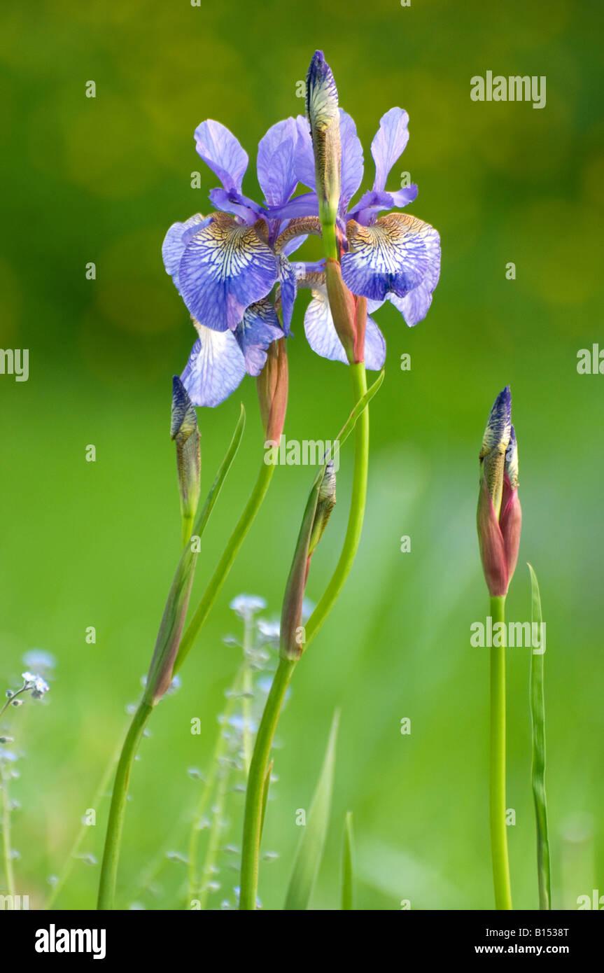 "Iris bleu Iris ""SP"" Banque D'Images"